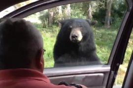 Con gấu bằng cách nào đó đã mở được cửa xe ôtô. Ảnh: Youtube.