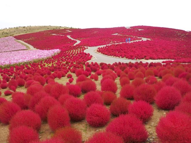 Thu sang, đồi cỏ chuyển màu đỏ rực rỡ.